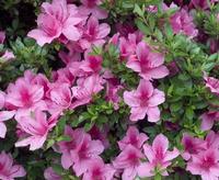 """Town of flowers """"azalea"""""""