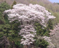 "Town of wood ""wild cherry tree."""