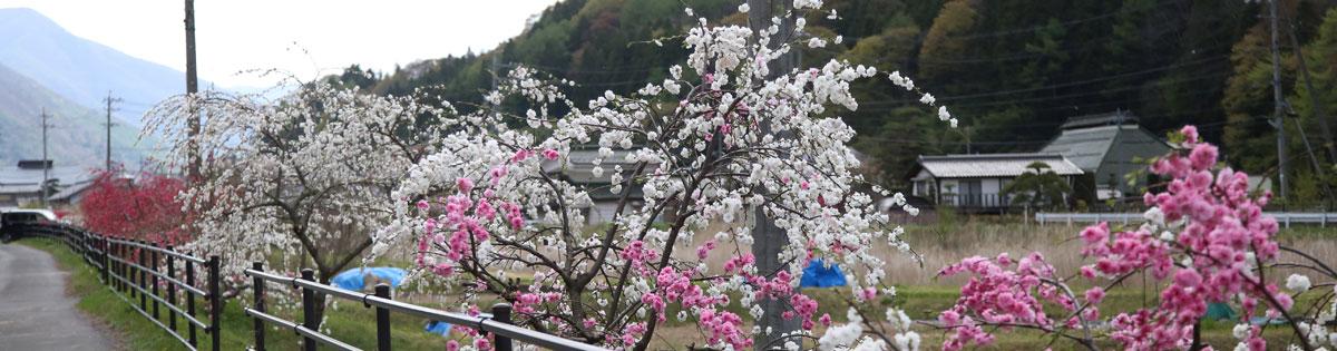 청원 花桃