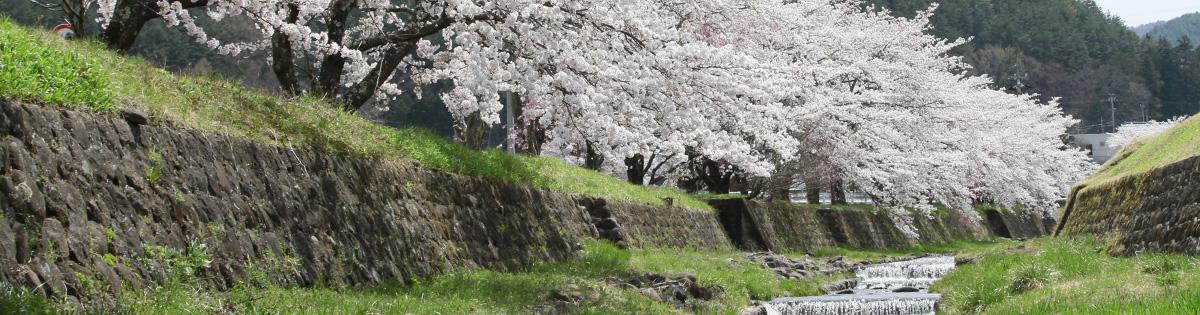 TOP_ 이스즈 벚꽃 2