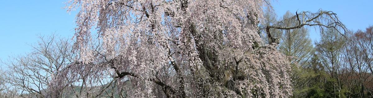 Kubo of weeping cherry tree