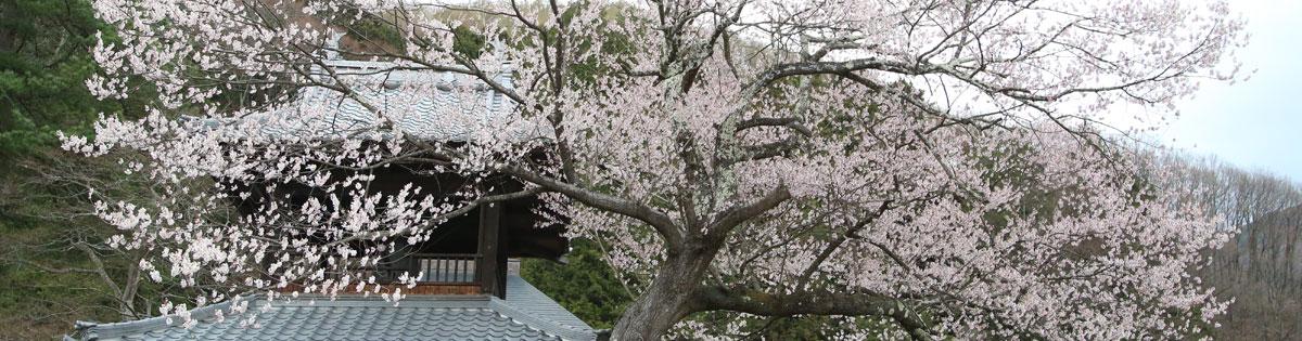 Shinteiterasakura